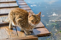 Cute adult red tabby cat hunting outdoors