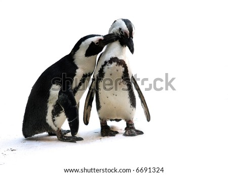 Cute affectionate penguin couple isolated - stock photo