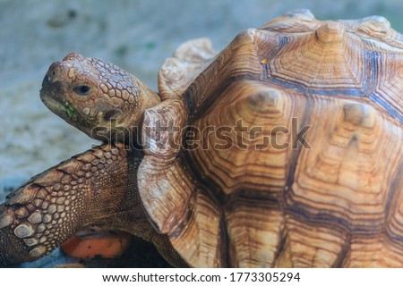 Cute African spurred tortoise (Centrochelys sulcata), also called the sulcata tortoise, is a species of tortoise, which inhabits the southern edge of the Sahara desert, in Africa.