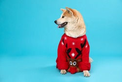 Cute Akita Inu dog in Christmas sweater on blue background. Space for text