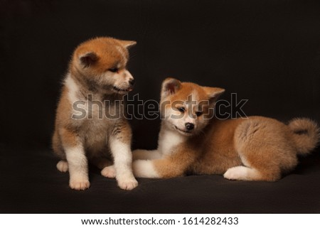 Cute Akita Inu puppys lies and looks away