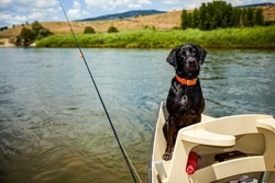 Cute alert black labrador wearing a colorful red collar riding in a small fishing boat on a lake sitting watching its owner attentively