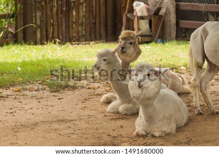 Cute alpaca in the farm