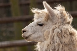 Cute alpaca (lama animal, llama) in farm. Funny animal portrait. Close up tender young alpaca from llama farm or zoo. Furry lama.