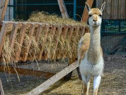 Cute alpaca (lama, llama) in animal farm. Beautiful alpaca or llama in paddock cade. Animal portrait eating hay. Close up tender alpaca in llama farm or zoo. Furry lama baby feeding care concept