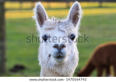 Cute Alpaca on the farm. Beautifull and funny animals from ( Vicugna pacos ) is a species of South American camelid. #1470564743