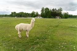 Cute alpaca portrait. Big fluffy cute animals chilling outside. Smiling alpaca babies in Estonia. Alpaca farm located in Estonia. White and brown alpacas in their paddock. Cutest animals ever!