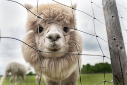 Cute alpaca portrait. Big fluffy cute animals chilling outside. Smiling alpaca babies in Estonia. Alpaca farm located in Estonia. White and brown alpacas in their paddock. Cutest animals ever.