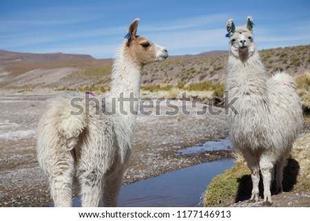 cute alpacas in the middle of nowhere, Bolivia. #1177146913