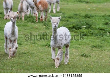 Cute alpacas pictured on a farm in Ireland.
