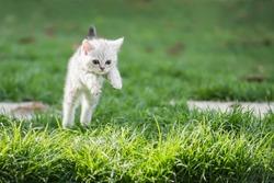 Cute American short hair kitten jumping on the field