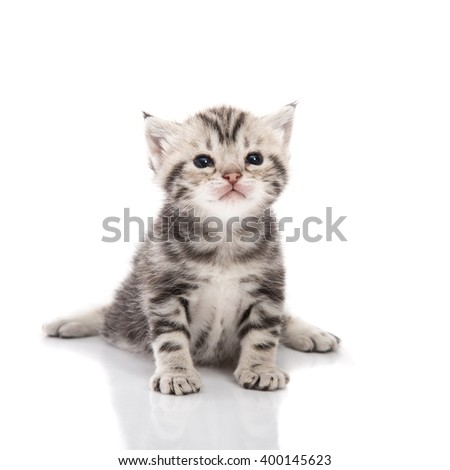 Cute american shorthair kitten sitting on white background isolated - Shutterstock ID 400145623