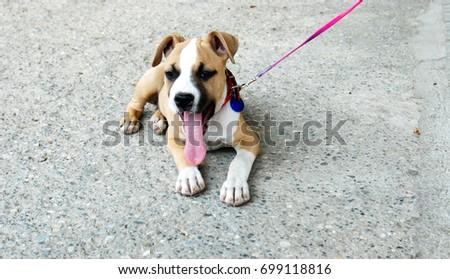 cute american staffordshire terrier puppy, #699118816