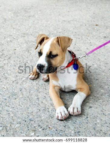 cute american staffordshire terrier puppy, #699118828