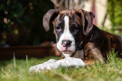 Cute and Adorable Baby Boxer Dog playing in outside during a vibrant sunny day. Taken in Vancouver, British Columbia, Canada.