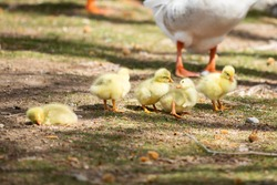 Cute and adorable group of little yellow goslings or baby geese at a local park, up close and personal