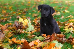 Cute and alert black puppy sitting in lush green grass and colorful Autumn leaves in late October