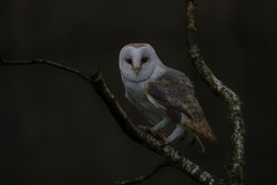 Cute and beautiful Barn owl (Tyto alba) on a branch at dusk. Owl in the dark forest. Dark background.  Noord Brabant in the Netherlands.