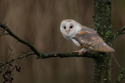 Cute and beautiful Barn owl (Tyto alba) on a branch. Noord Brabant in the Netherlands.