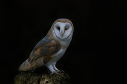 Cute and Beautiful Barn owl (Tyto alba) sitting on a tree trunk. Autumn background. Noord Brabant in the Netherlands.  Closeup of an owl winking. Owl winks with one eye looking into the frame.