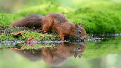 Cute and beautiful Eurasian red squirrel (Sciurus vulgaris) drinking water in a pool in the forest of Noord Brabant in the Netherlands. Reflection in the water. Came for a drink on a hot summer day.