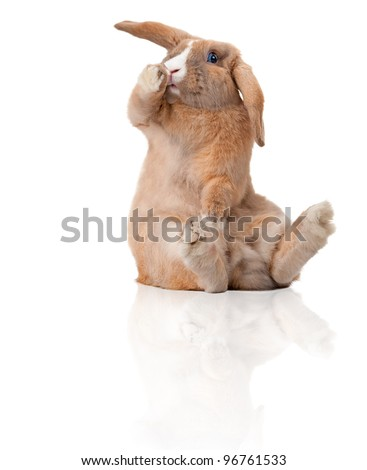 Cute and beautiful rabbit sitting. Isolated on white background, reflection, a lot of copy space. Surprised or shocked, paw at his mouth.