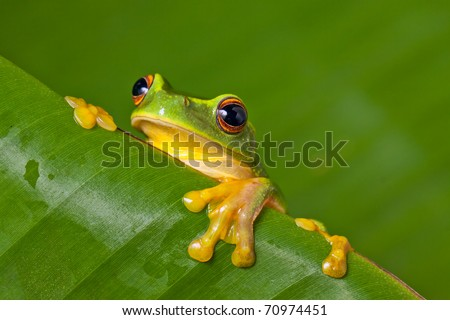 Cute and colorful Orange thighed tree frog (Litoria xanthomera) peeking over a banana leaf.