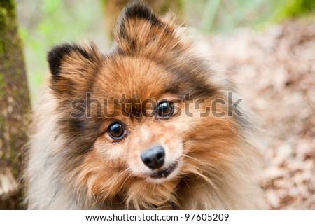 Cute and Fluffy Pomeranian Dog Enjoying Walk in Park
