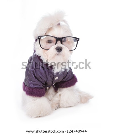 Cute and fluffy young Maltese puppy, wearing violet dog coat and glasses