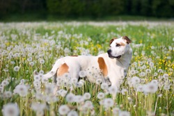 Cute and friendly american pitbull terrier dog posing on the meadow full of dandelions.