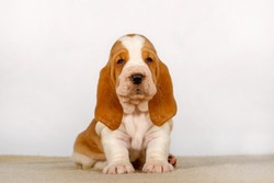 Cute and funny Basset Hound puppy.