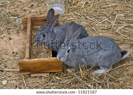 Cute and funny grey rabbits eating seeds standing on dry grass