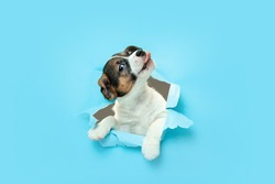 Cute and little doggy running breakthrough blue studio background purposeful and inspired, attented. Concept of motion, action, movement, goals, pets love. Looks delighted, funny. Copyspace for ad.