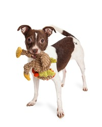 Cute and playful small terrier mixed breed dog with brown and white coat carrying a ripped up stuffed bird toy in his mouth