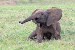 Cute and playful young elephant playing and running around in a grass field. Happy and cheerful baby african elephant (Loxodonta africana) having fun and smiling.