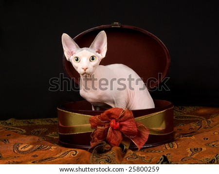 Cute and pretty hairless Sphynx cat sitting inside brown gift box with red bronze gold bow and ribbon, on black and brown background fabric