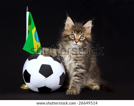 Cute and pretty Maine Coon MC kitten with miniature soft soccer ball and country flag, on black background