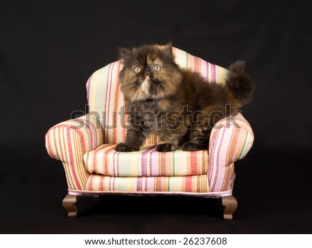 Cute and pretty Persian kitten sitting on miniature sofa couch chair on black background