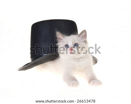 Cute and pretty Ragdoll kitten with black top hat, on white background