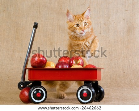 Cute and pretty red tabby Maine Coon kitten with miniature red wagon filled with apples on hessian burlap background - stock photo