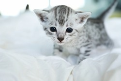 Cute and rare Egyptian Mau kitten playing on a white blanket