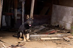 Cute and sad german shepherd dog puppy with broken leg on the chain on messy yard in Slovak gypsy village