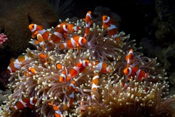 Cute anemone fish playing on the coral reef, beautiful color clownfish on coral feefs, anemones on tropical coral reefs