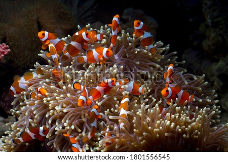 Cute anemone fish playing on the coral reef, beautiful color clownfish on coral feefs, anemones on tropical coral reefs Photo stock ©