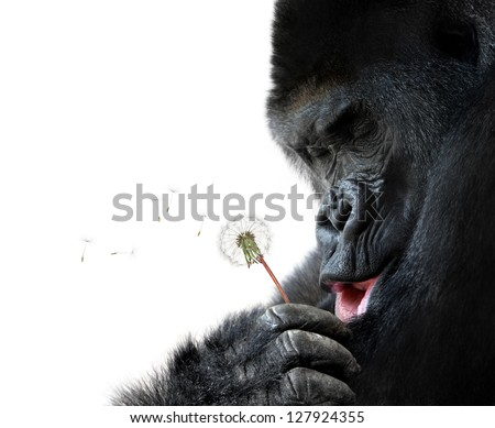 Cute animal portrait of a gorilla making a wish, isolated on white background