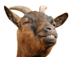 Cute animal portrait of a small goat looking all happy and cheerful