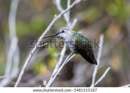Cute Anna's Hummingbird perched on branch while leaning head to left with perfect balance.