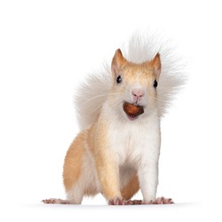 Cute apricot with white Japanese Lis squirrel, standing facing camera with hazelnut in mouth. Looking straight at camera, showing both eyes and teeth. Isolated on white background.
