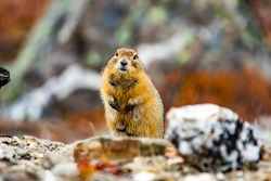 Cute Arctic ground squirrel close up portrait staring at the camera