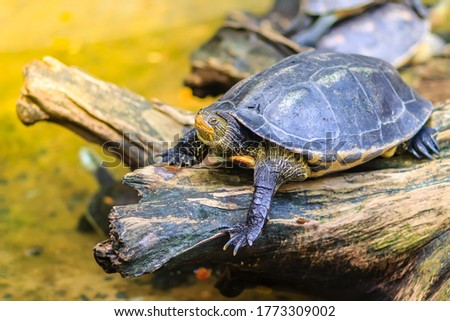 Cute Asian box turtle, Siamese box terrapin (Cuora amboinensis) in the pond. Cuora amboinensis are recognized by their dark olive or black colored head, with three yellow stripes along each side.